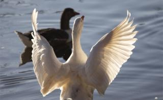 Two geese are seen on a lake, one swims while a other flaps out a wings.