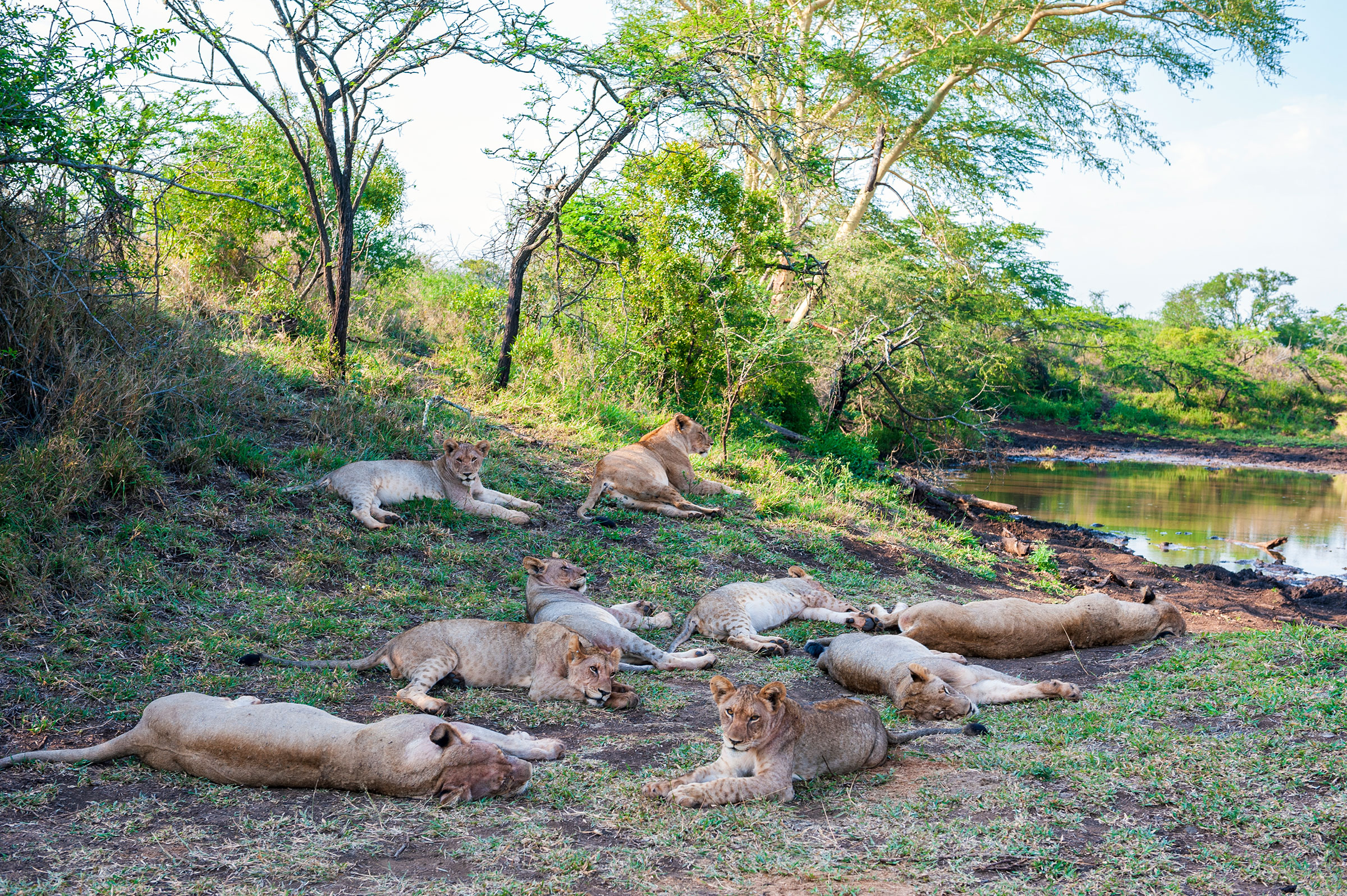 A honour of lions during Thanda Safari Lodge, a 14 000-hectare Big Five private diversion haven owned by Swedish IT businessman Dan Olofsson in northern Zululand, South Africa.