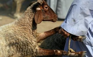A businessman carries a sole sheep to a customer's car, forward of a Muslim festival of scapegoat Eid al-Adha, in Giza, on a hinterland of Cairo,, Egypt Aug 9, 2018.