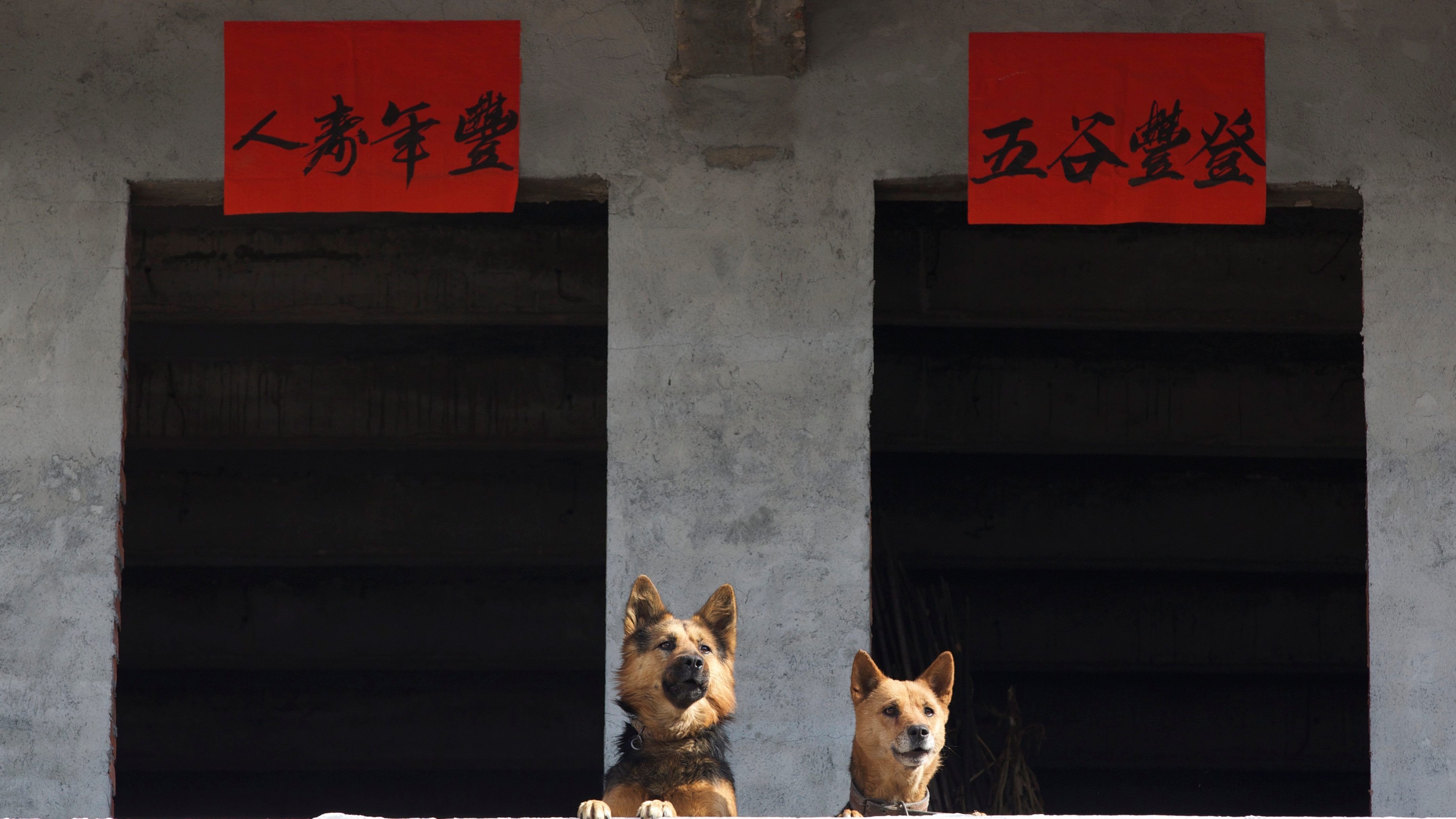 Dogs are seen subsequent to Lunar New Year decorations during a jubilee forward of Year of a Dog in Jinhua, Zhejiang province, China Jan 16, 2018. Picture taken Jan 16, 2018. Yang Meiqing around REUTERS