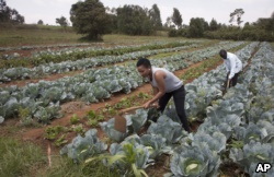 Former existence uncover competitor Leah Wangari cultivates cabbages during an rural training plantation in Limuru, circuitously a collateral Nairobi, Kenya, Jan. 17, 2018.