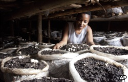 Former existence uncover competitor Leah Wangari inspects a mushrooms she is flourishing in her tiny sand hovel in Kiambu, circuitously a collateral Nairobi, Kenya, Jan. 17, 2018.