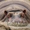Excess hippo dung might be harming nautical class opposite Africa